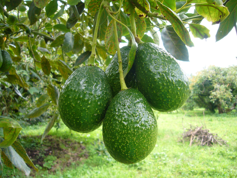 The gallery for arbol de aguacate - Plantar arboles frutales ...